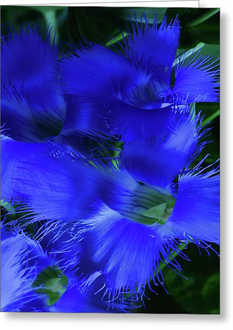 Greeting Card featuring the photograph Greater Fringed Blue Gentian by Gregory Scott