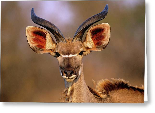 Greater Kudu Greeting Card by Tony Camacho/science Photo Library