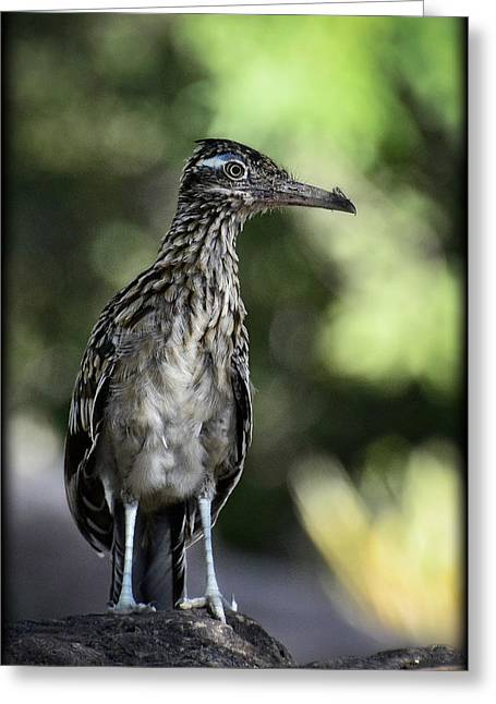 Greater Roadrunner  Greeting Card
