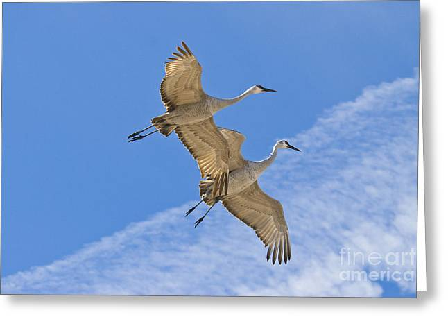 Greater Sandhill Cranes In Flight Greeting Card by William H Mullins