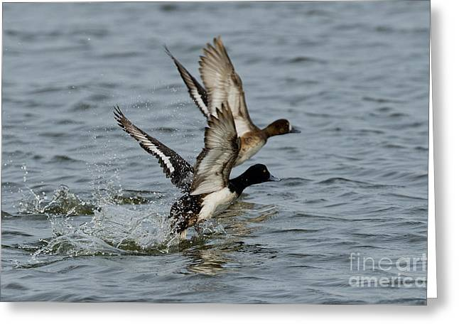 Greater Scaup Pair Greeting Card by Anthony Mercieca