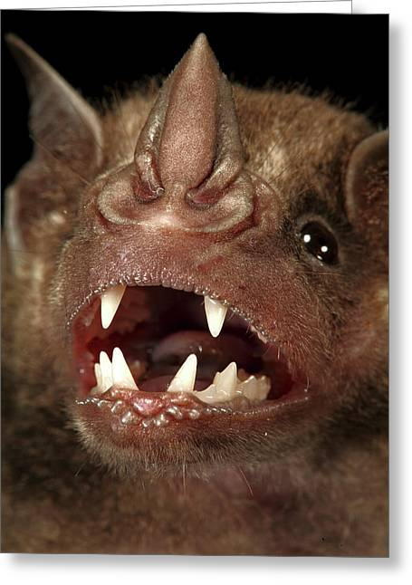 Greater Spear-nosed Bat Greeting Card by Christian Ziegler