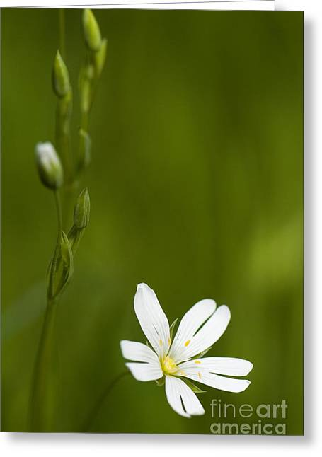 Greater Stitchwort Greeting Card by Anne Gilbert
