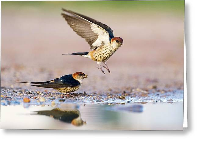 Greater Striped Swallows Greeting Card by Peter Chadwick