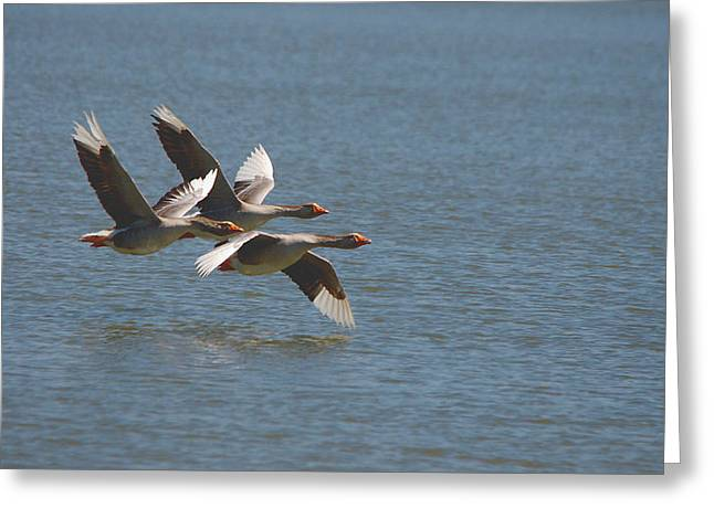 Greater White-fronted Geese In Flight Series 4 Greeting Card