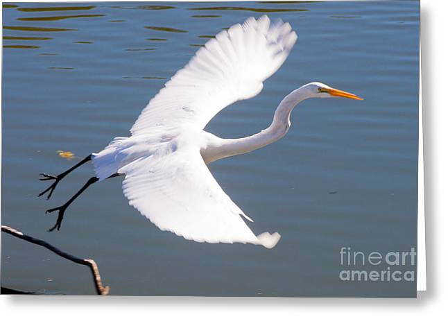 Greeat Egret Flying Greeting Card by Thomas Marchessault