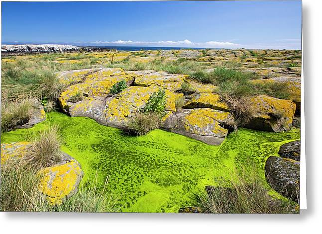 Green Algae And Yellow Lichen Greeting Card by Ashley Cooper