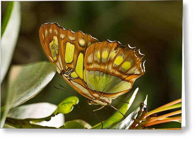 Green And Brown Tropical Butterfly Greeting Card
