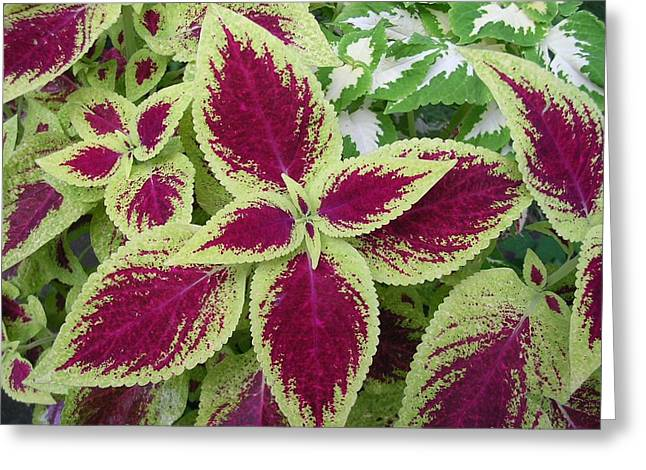 Green And Purple Coleus Greeting Card by Dusty Reed