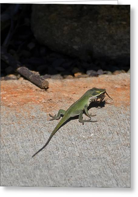 Green Anole Lizard Vs Wolf Spider  Greeting Card