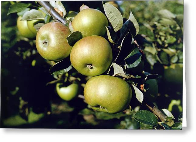 Green Apples On Branch Greeting Card
