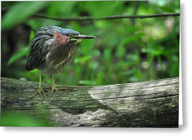Green Backed Heron At The Swamp Greeting Card by Rebecca Sherman