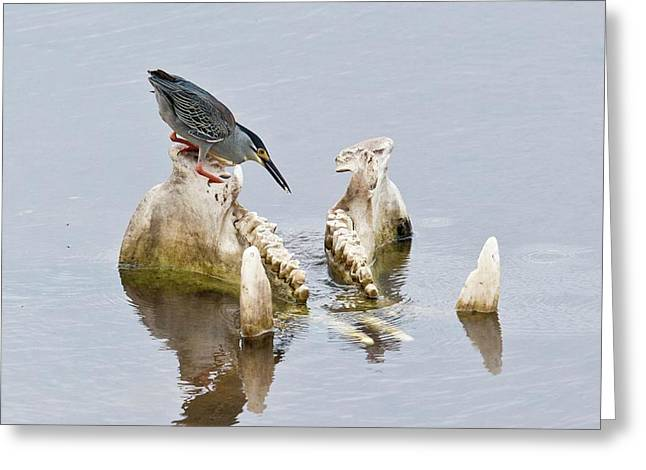 Green-backed Heron On Hippo Skull Greeting Card by Bob Gibbons
