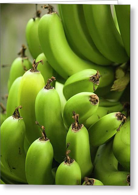 Green Banana Fruits (musa Hybrid) Greeting Card
