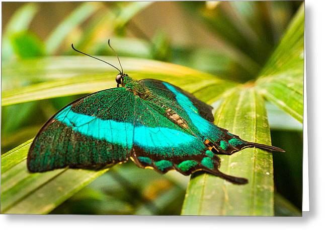Green-banded Swallowtail Greeting Card by Bill Pevlor