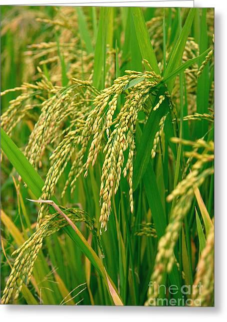 Green Beautiful Rice Farming Greeting Card by Boon Mee