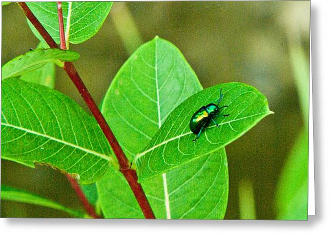 Green Beetle Foraging Greeting Card