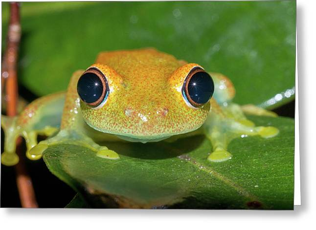Green Bright-eyed Tree Frog Greeting Card by Dr P. Marazzi