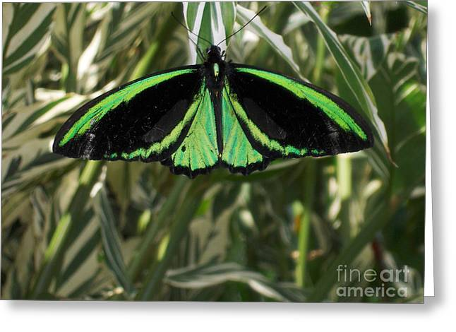 Greeting Card featuring the photograph Green Butterfly by Brenda Brown