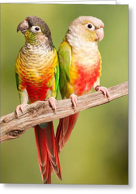 Green-cheeked Conure And Pineapple Greeting Card by David Kenny
