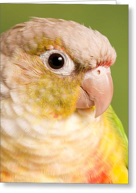 Green-cheeked Conure Pineapple P Greeting Card by David Kenny