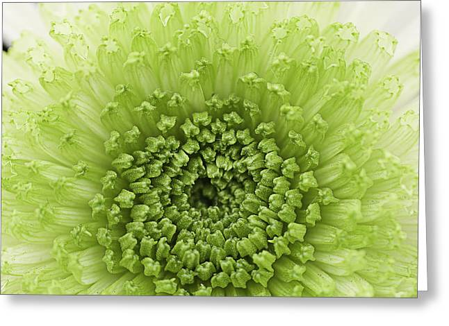 Green Chrysanthemum Greeting Card by Lesley Rigg