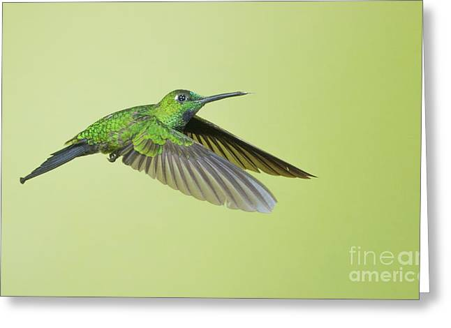 Green-crowned Brilliant Hummingbird Greeting Card by Dan Suzio