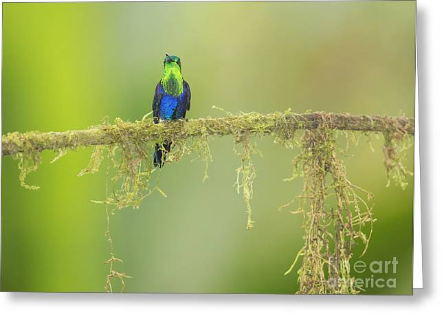 Green-crowned Woodnymph Hummingbird Greeting Card by Dan Suzio
