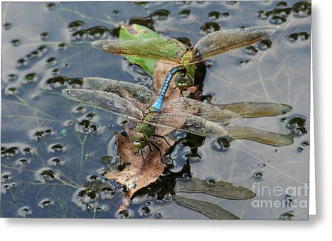 Green Darner Dragonflies Greeting Card by Judy Whitton