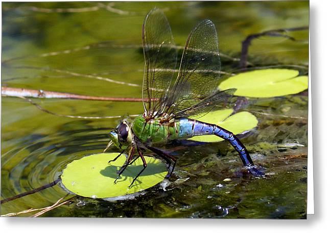 Green Darner Dragonfly 2 Greeting Card