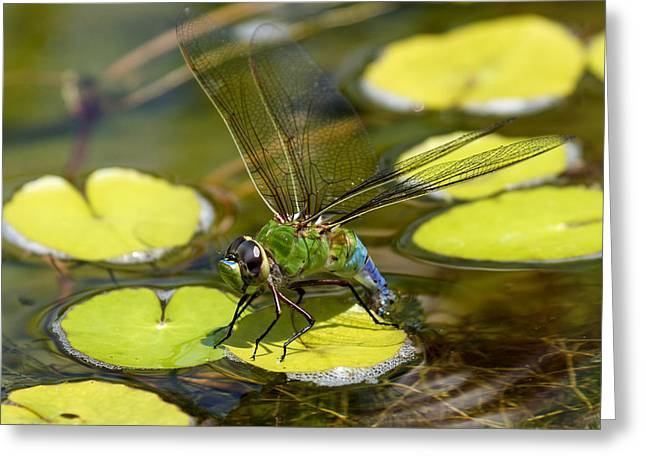 Green Darner Dragonfly 3 Greeting Card by David Lester