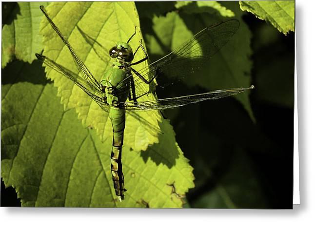 Green Darner Dragonfly  Greeting Card