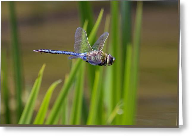 Green Darner Flight Greeting Card by David Lester