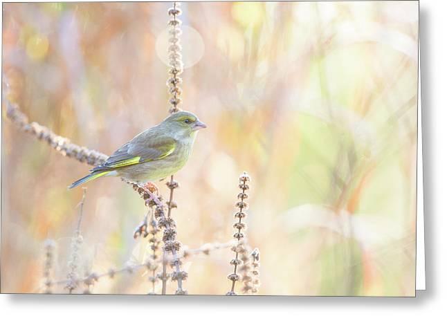 Green Finch Greeting Card