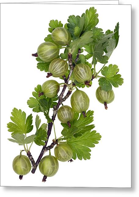 Green Forest Berries Greeting Card by Aleksandr Volkov