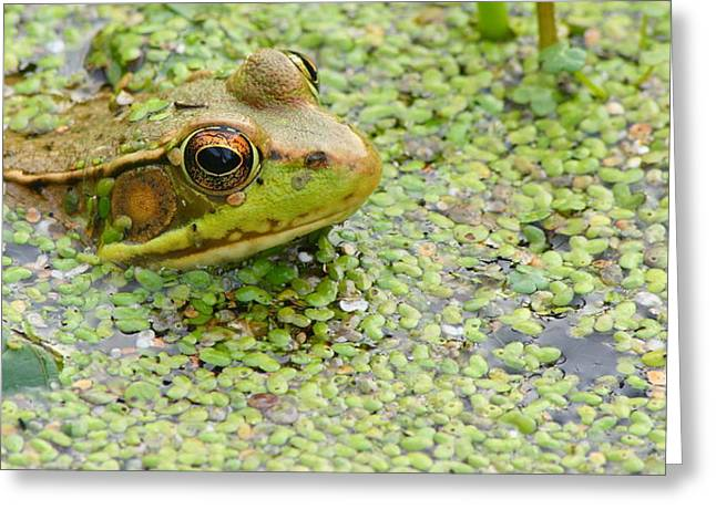 Green Frog In Green Weeds Greeting Card