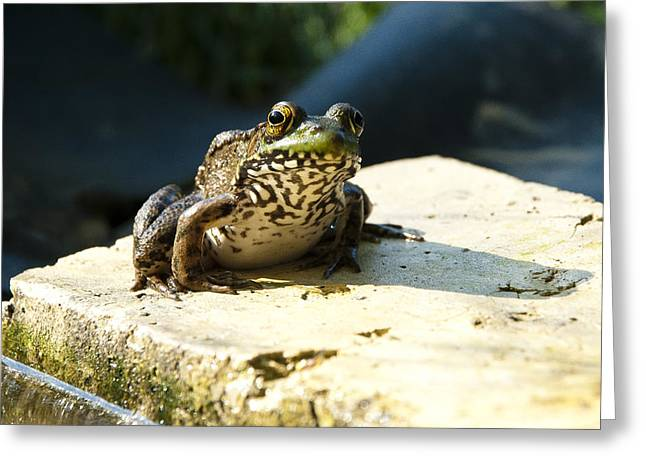 Green Frog - Lookin At Yah Greeting Card by Janice Adomeit