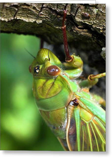 Green Grocer Cicada Greeting Card