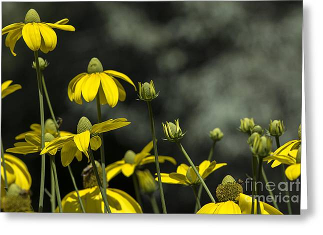 Green Headed Coneflower Greeting Card