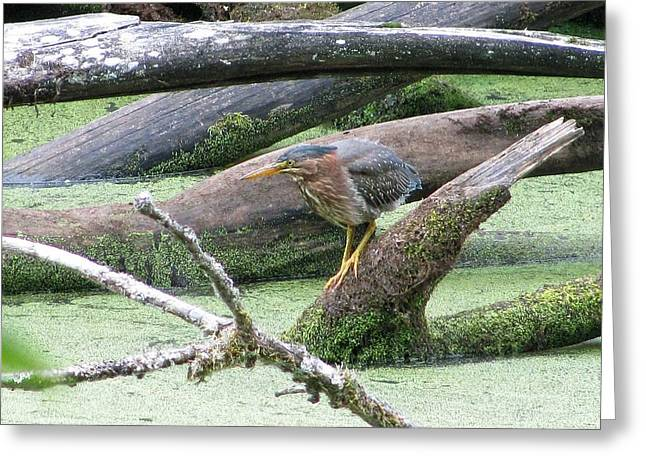 Greeting Card featuring the photograph Green Heron - Camouflage by I'ina Van Lawick