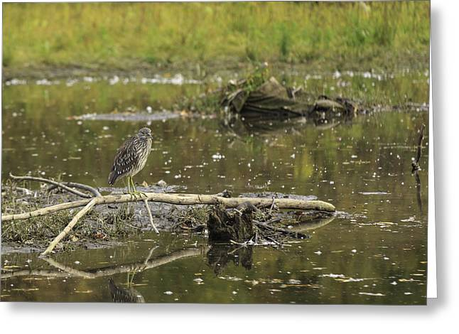 Juvenile Black Crowned Night Heron In A Marsh Greeting Card