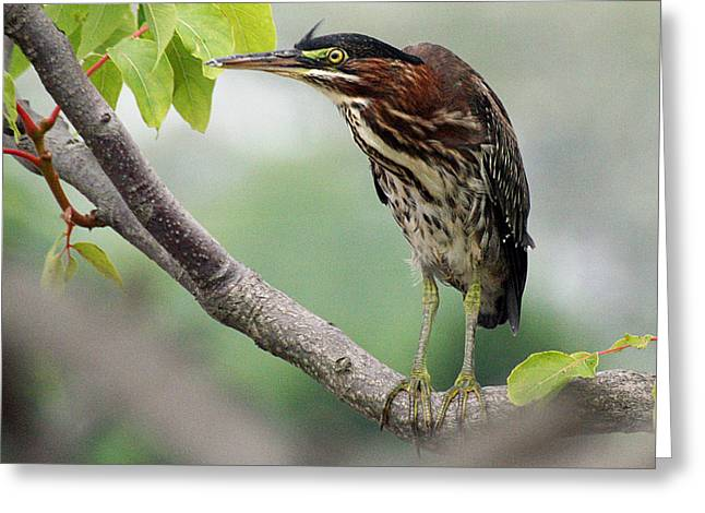 Green Heron In Sumac Greeting Card