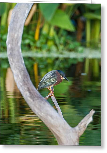 Green Heron On A Crystal Clear Lake Greeting Card by Andres Leon