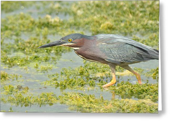 Green Heron On The Hunt Greeting Card