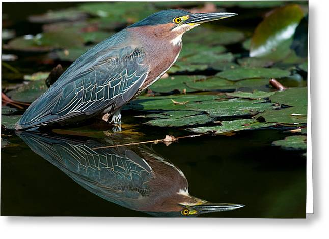 Greeting Card featuring the photograph Green Heron Reflection 1 by Avian Resources