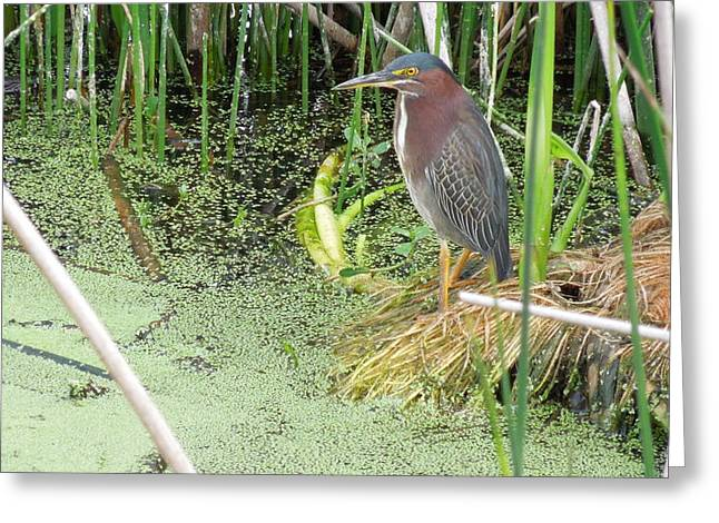 Greeting Card featuring the pyrography Green Heron by Ron Davidson