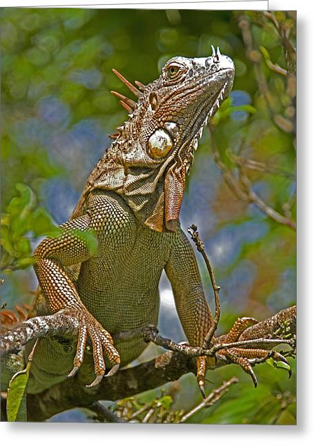 Greeting Card featuring the photograph Green Iguana by Dennis Cox WorldViews
