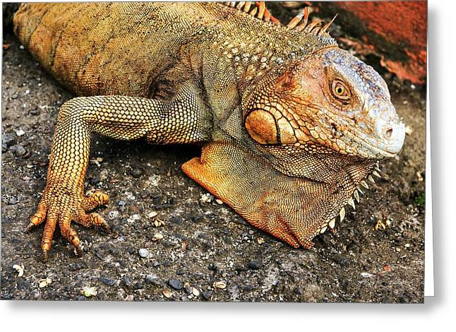 Green Iguana (iguana Iguana) Greeting Card