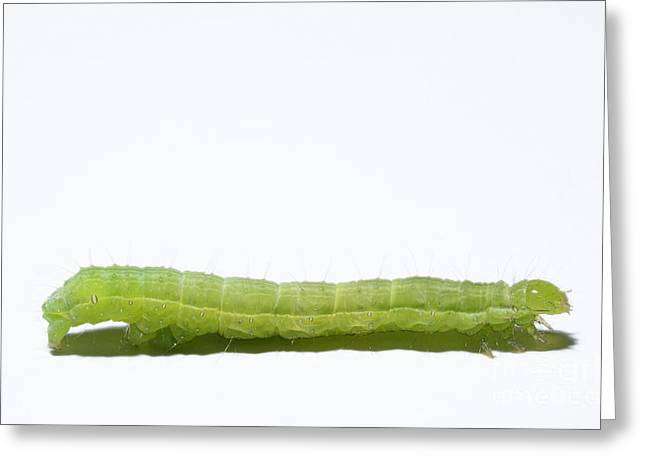 Green Inchworm On White Background Greeting Card by Sami Sarkis