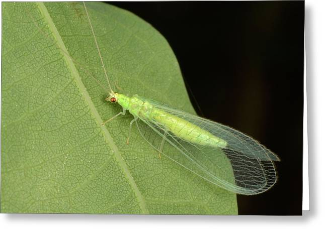 Green Lacewing Greeting Card by Nigel Downer